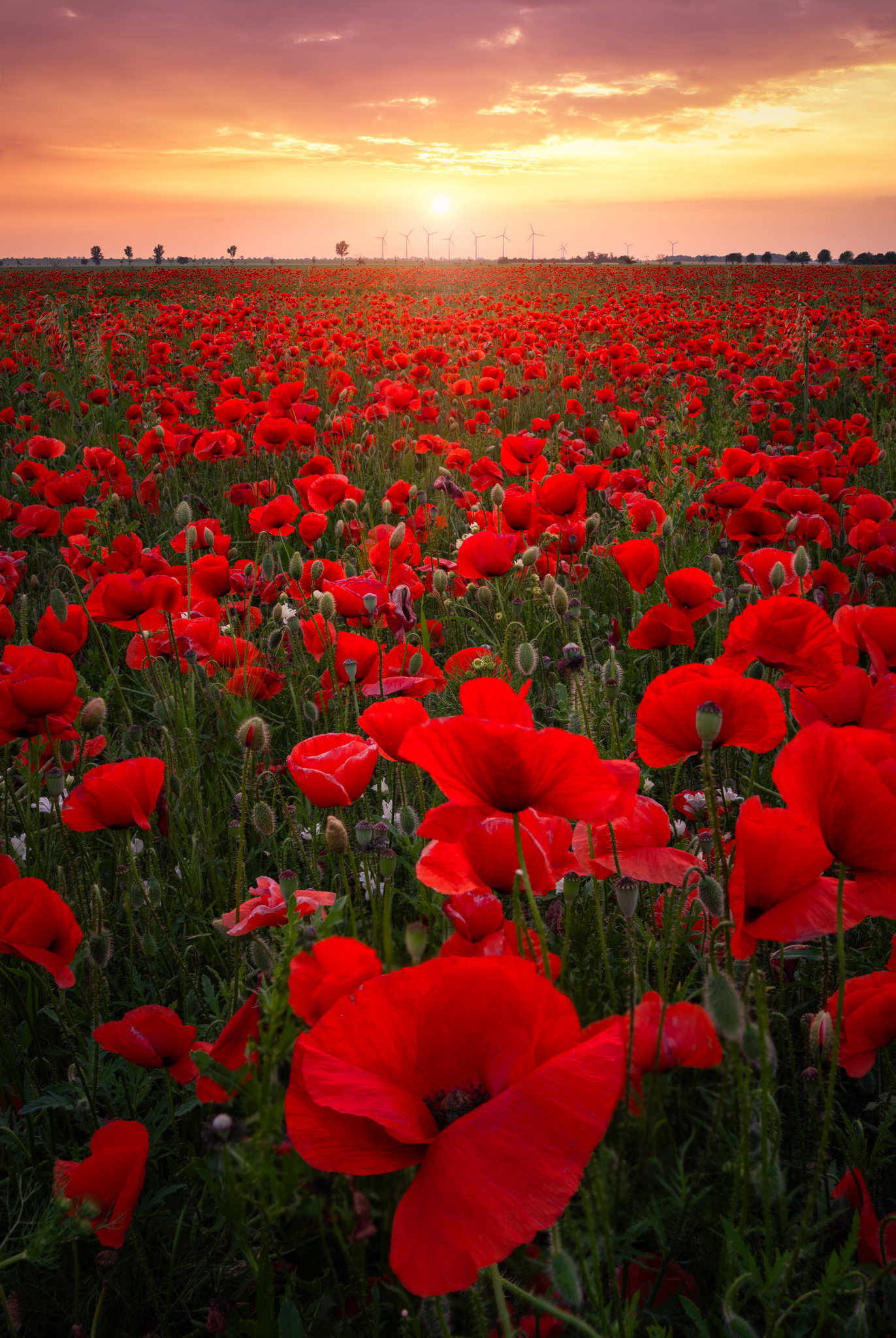Field of Poppy Flowers in Germany