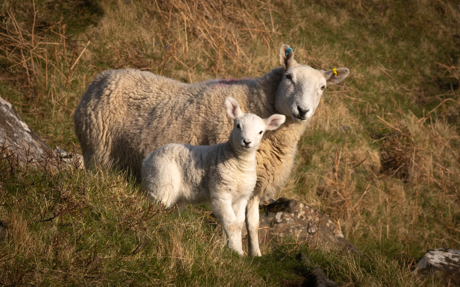 Lamb with Mother Sheep at the Isle of Skye