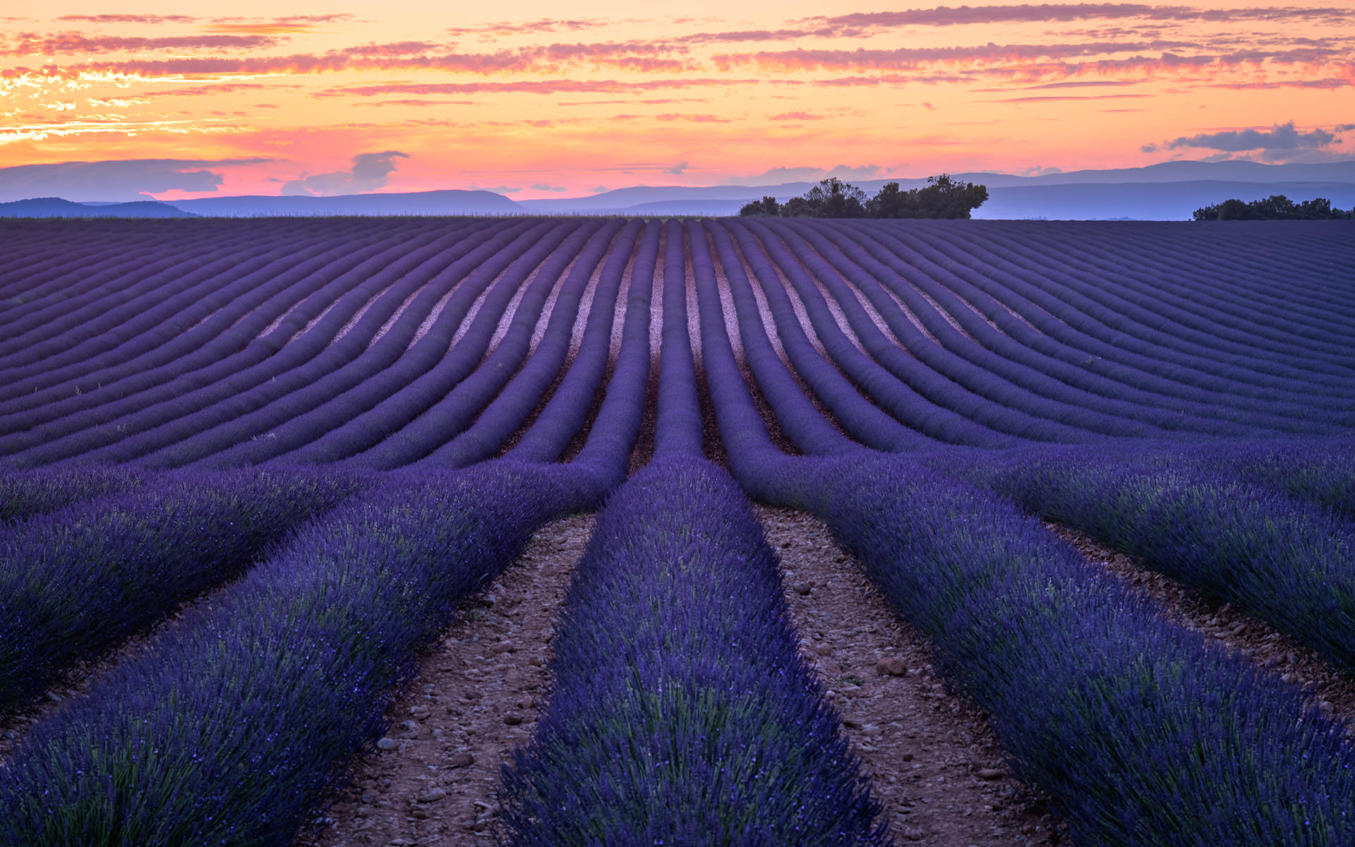 Lavender in Valensole - Landscapes of Provence